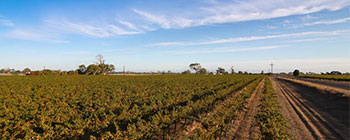 Coonawarra Vineyard